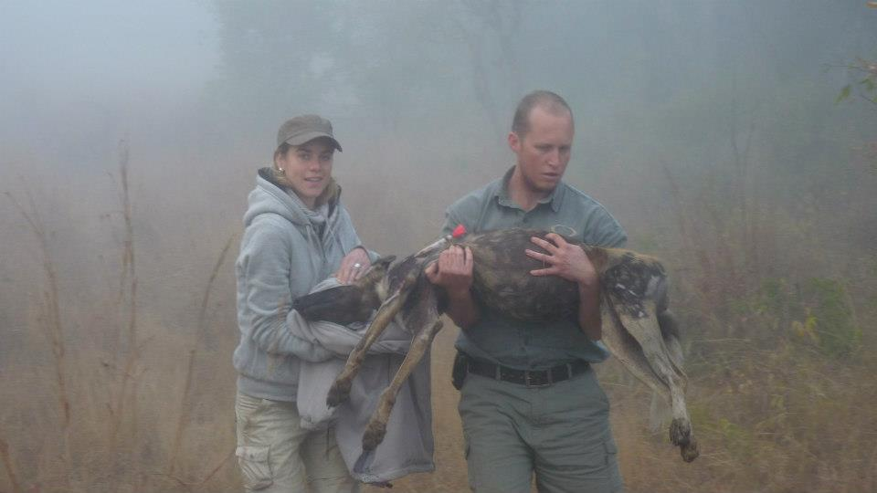 Kevin in Tembe carrying a sedated Wild Dog