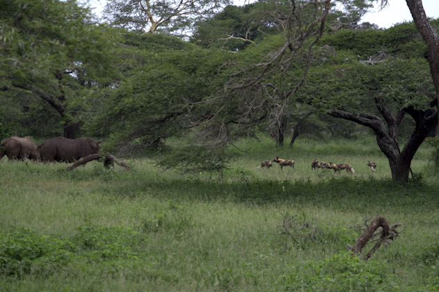 White rhino and wild dogs in Mkhuze Game Reserve