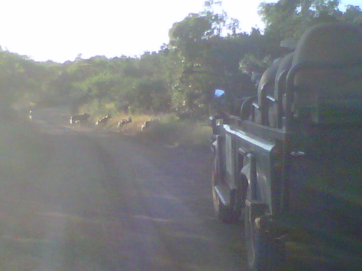 The Wild Dogs back in the bush