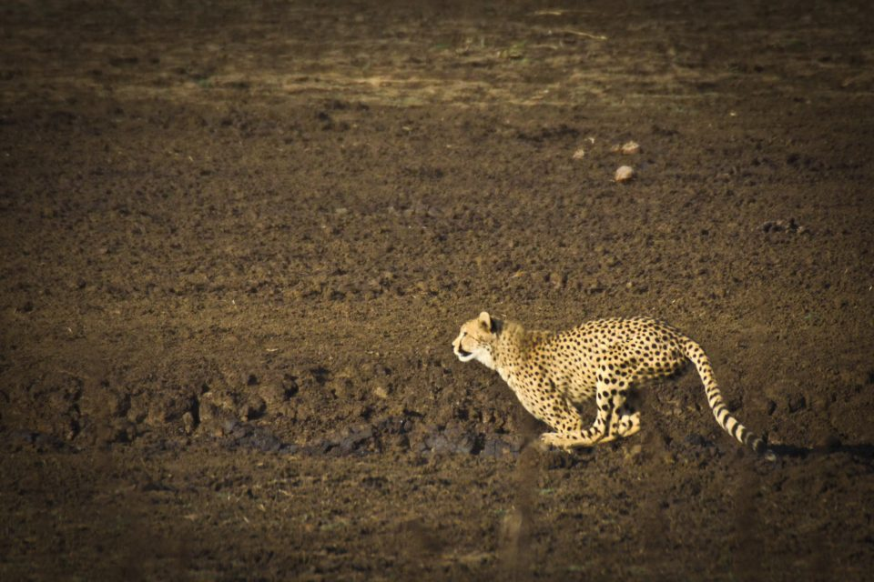 contribute to cheetah conservation in Mkhuze Game Reserve