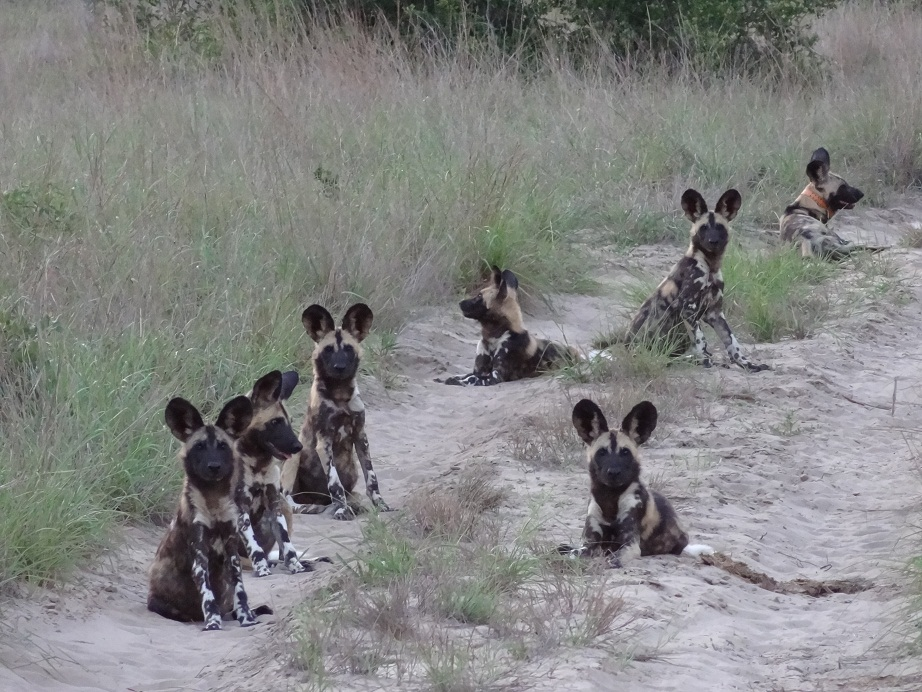 Poofy and the Wild Dog pups