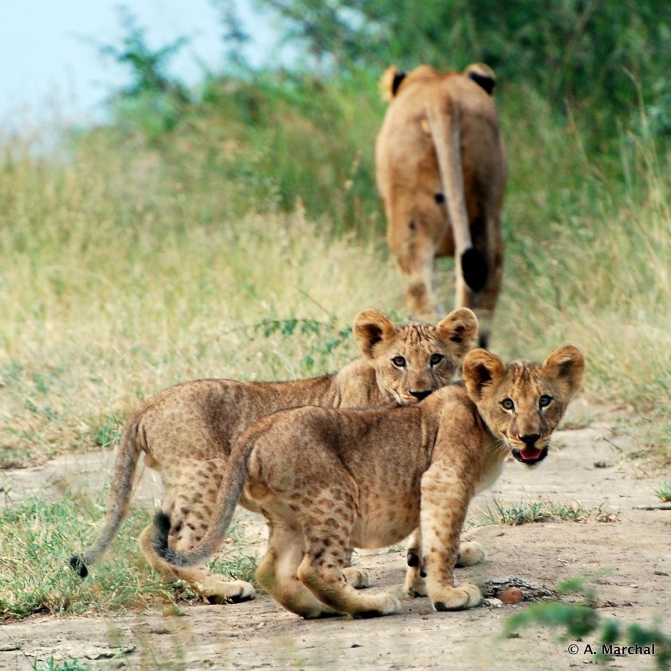 Lioness and two cubs imfolozi - Lion Monitoring