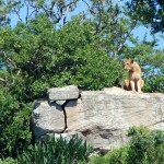 Lion on a rock in iMfolozi