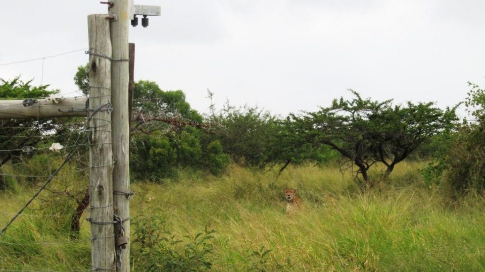 Cheetah release on Mkhuze Game Reserve