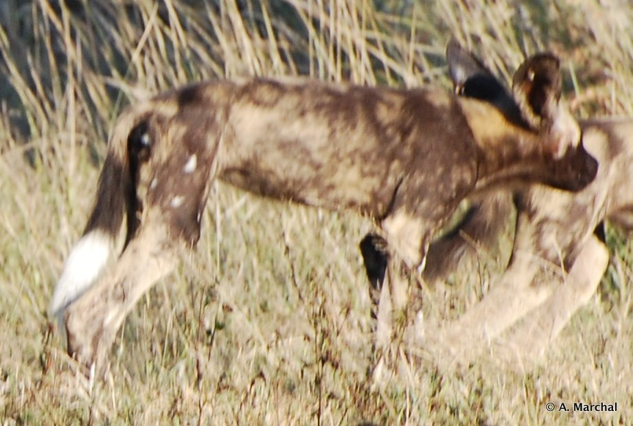 Wild Dog side profile in Hluhluwe-iMfolozi Park