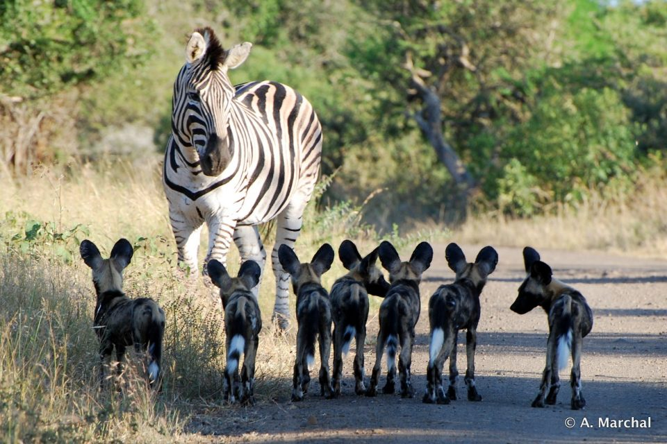 Wild Dog puppies and a Zebra in Hluhluwe-iMfolozi Park