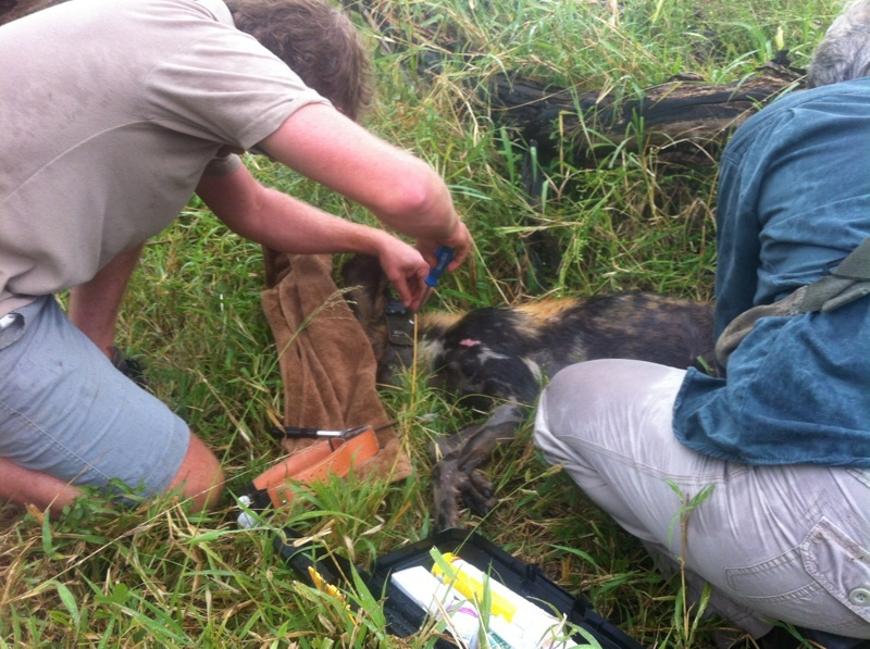 Chris Kelly of Wildlife ACT fitting the first satellite collar onto Alfie.