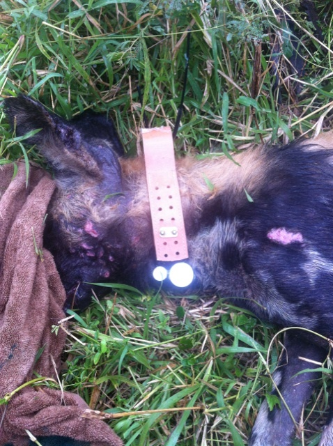 The first satellite collar fitted onto Alfie, an African Wild Dog in iMfolozi