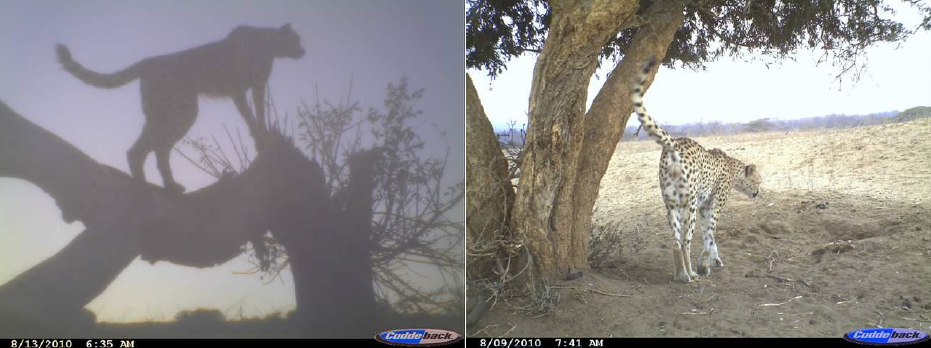 Cheetah vantage trees and scent-marking trees