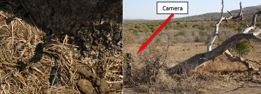 Wildlife ACT cameras were positioned at trees with fresh Cheetah scat at their base or on their trunk