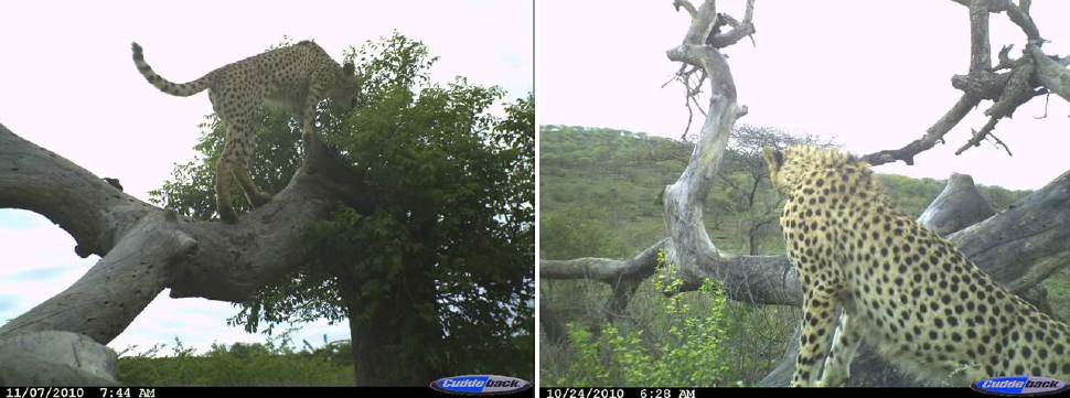 Two of the many Cheetah photographs captured during Trial Survey 2 in HiP