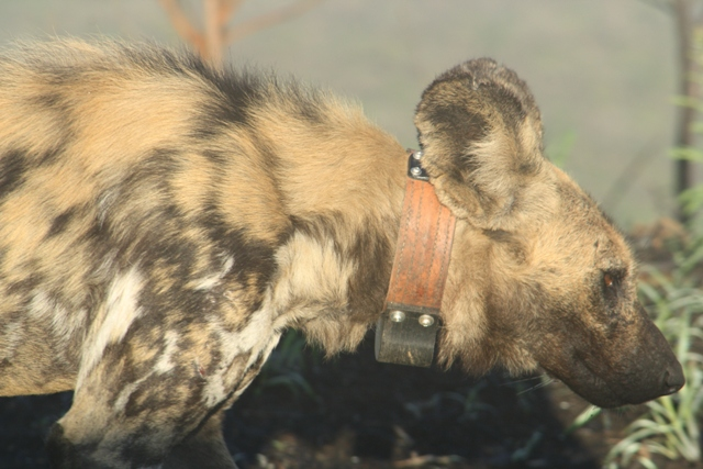 Wild Dog Norma with collar