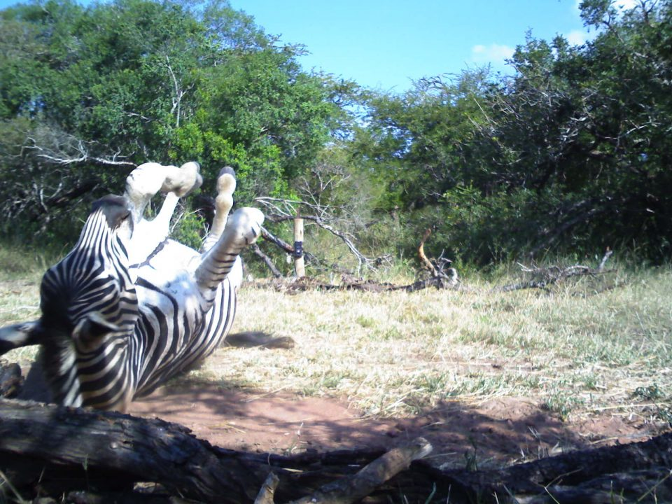 Camera trap image zebra