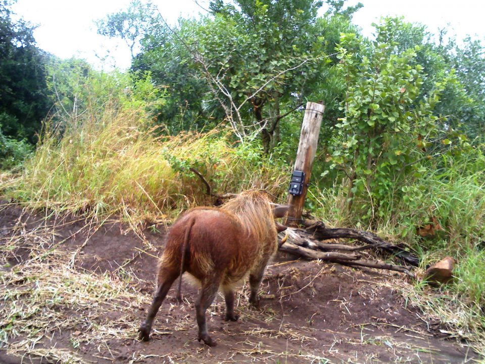 Camera trap warthog