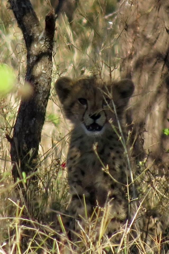 Cheetah cubs - Mkhuze