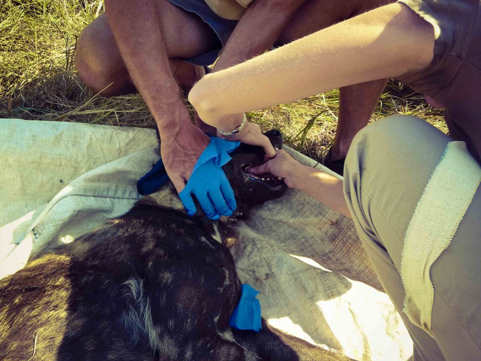 African Wild Dog relocation