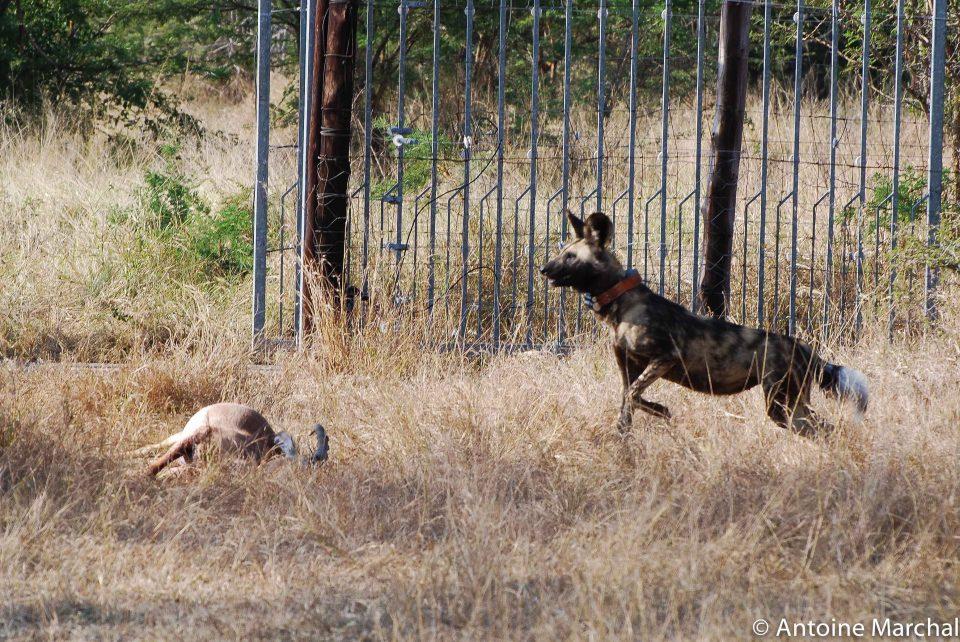 wild dog release