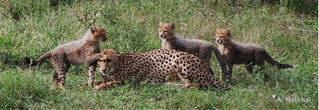 Wildlife ACT: A female cheetah and her three cubs