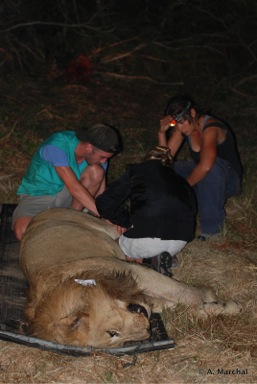 Darted lion during a call-up in iMfolozi Wildlife ACT