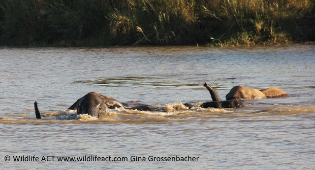 Elephants swimming in Hluhluwe River, South Africa