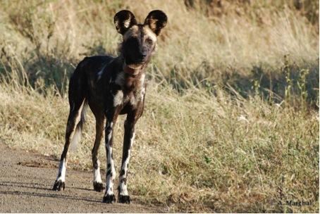 Wildlife ACT: Mango, a female African wild dog from Shiyane Pack