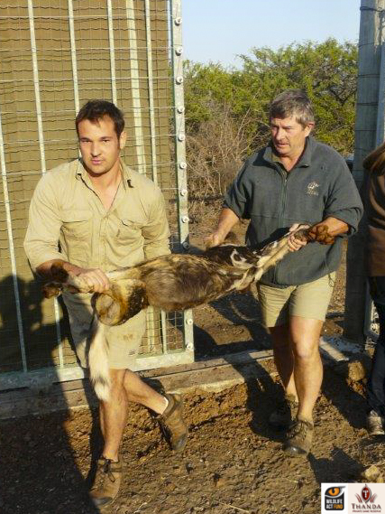 Thanda's ecologist Warren Beets and Mike Toft carrying Stitch into the boma