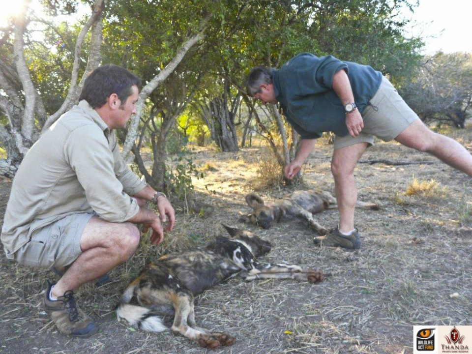 Mike Toft checking the Wild Dogs before administering the antidote