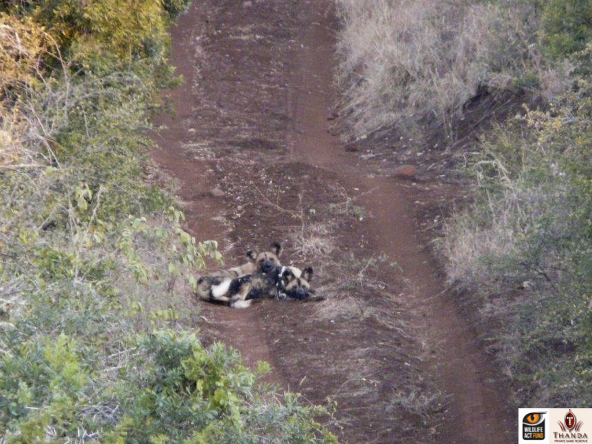 African Wild Dog pair Skye and Stitch
