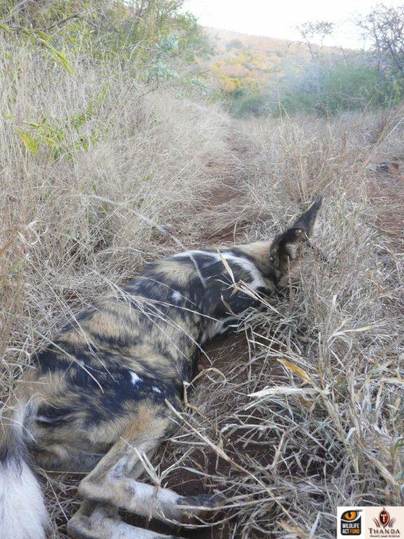 Darted African Wild Dog
