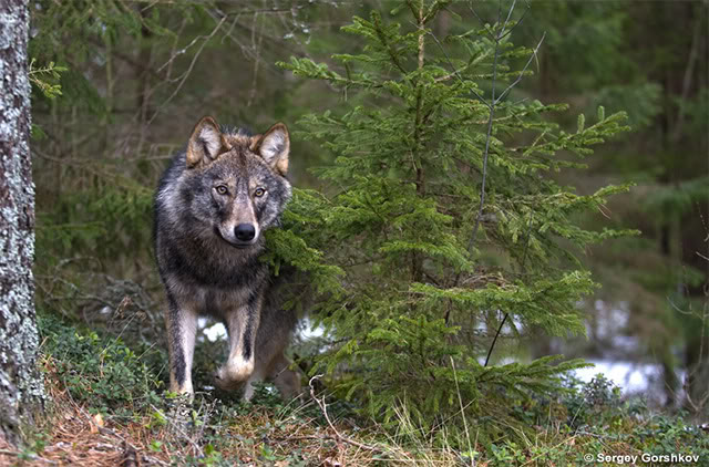 Slovenia Wolf