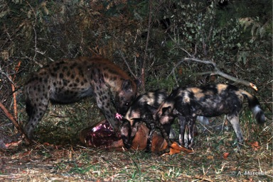 Wildlife ACT: Wild dogs and hyena having a feast in close proximity