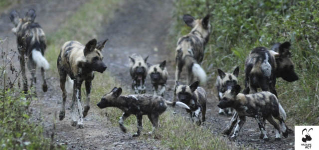 Hluhluwe Wild Dog puppies - Wildlife ACT