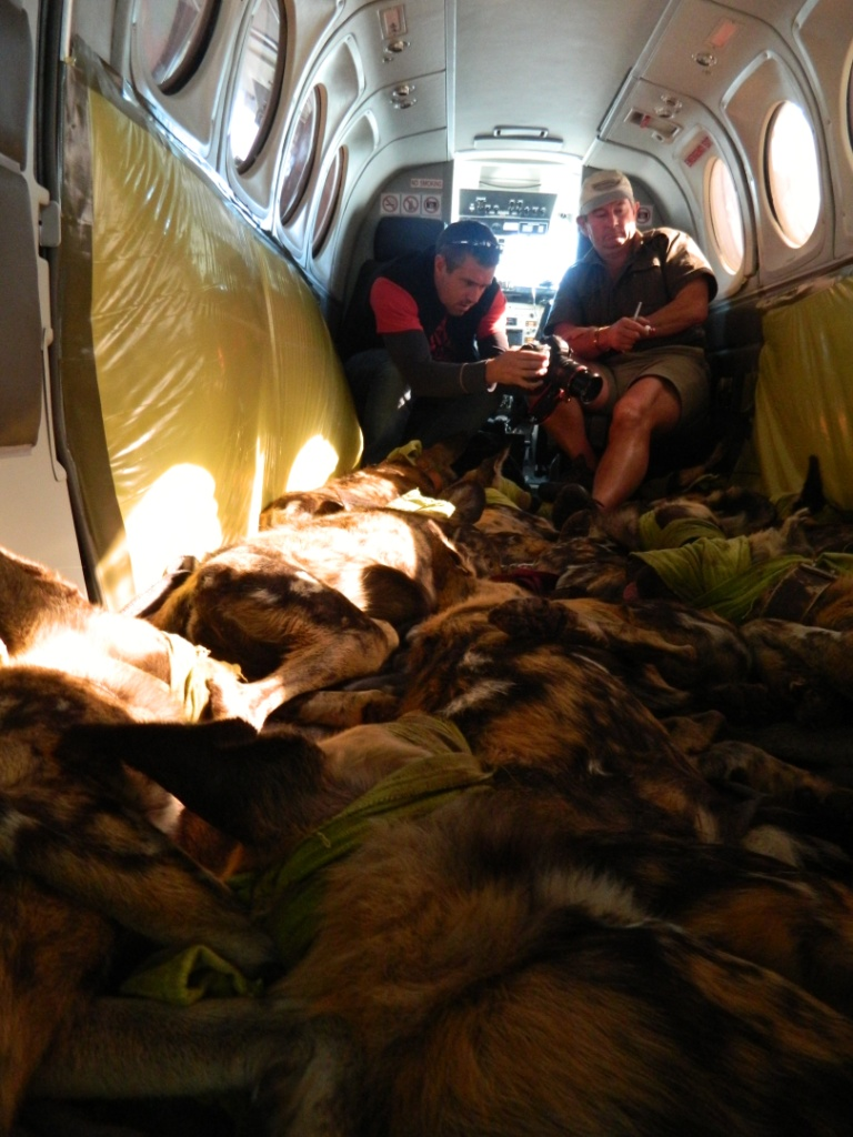 Thanda Wild Dog translocation - Wildilfe ACT