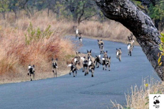 Mkhuze puppies - Wildlife ACT