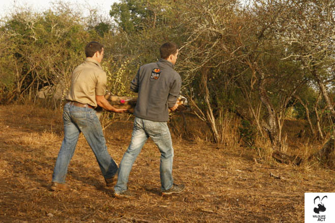 Dr Simon Morgan (Wildlife ACT Fund) and Warren Beets (Thanda) carrying one of the darted Wild Dogs on Thanda