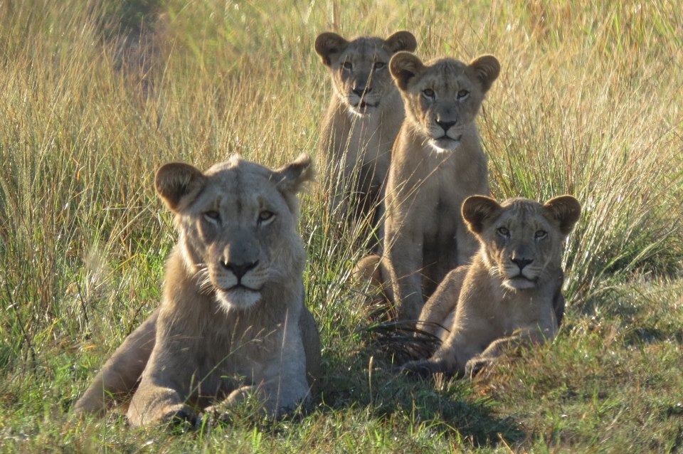 Tembe Elephant Park lions