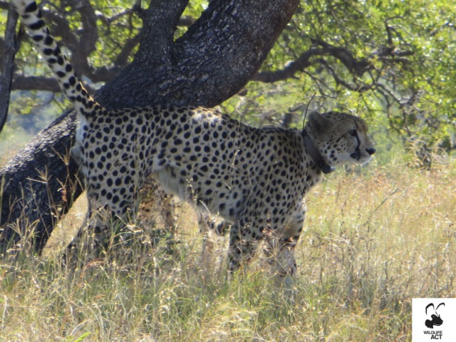 Cheetah brothers Tim and Tom Mkhuze Game Reserve