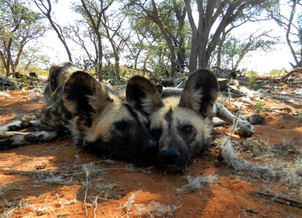 Wild Dog wake up time in Tswalu