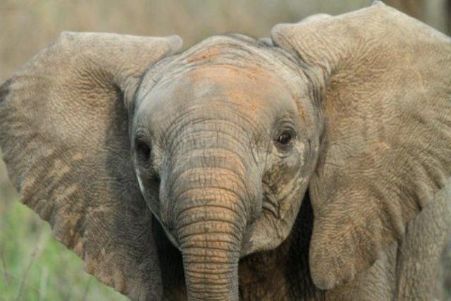 Elephant Calf. Photo: David Parker