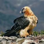 Bearded Vulture. Photo: Antoni Margalida