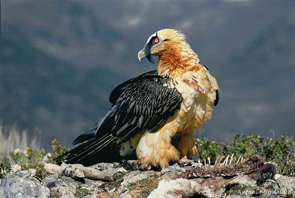 Bearded Vulture. Photo: Antoni Margalida