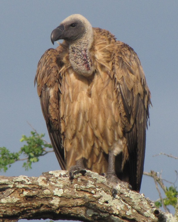 Geoff Clinning (HiP) African White-backed Vulture