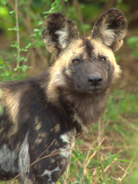 Wild Dog Update - Ian Wild Dog Crossroad Pack