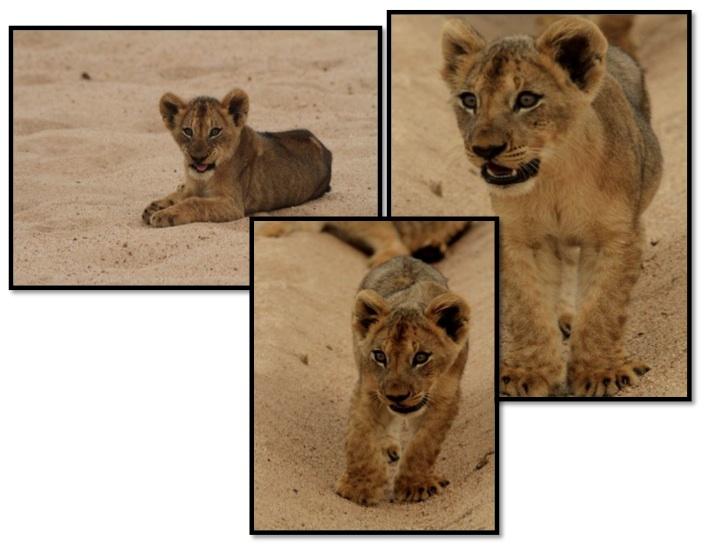 Lion cubs. Photos: David Parker