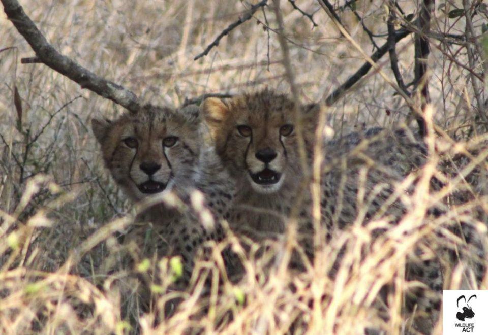 Cheetah cubs - Mkhuze Game Reserve