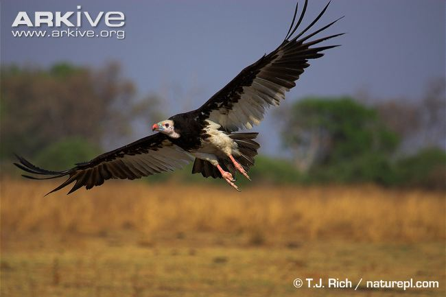White-headed Vulture flying