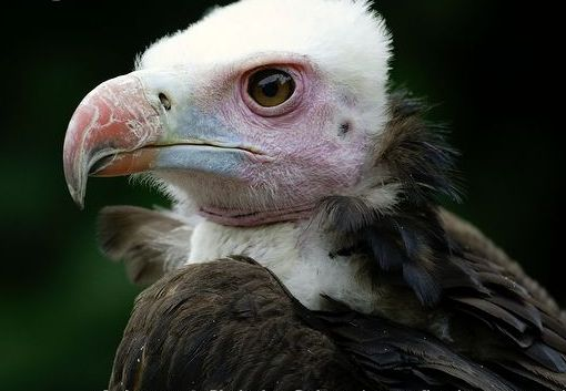 White-headed Vulture head detail