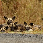 Crossroad Wild Dog pack, Hluhluwe, South Africa