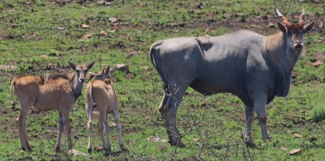 Adult Eland and baby - Ithala Game Reserve