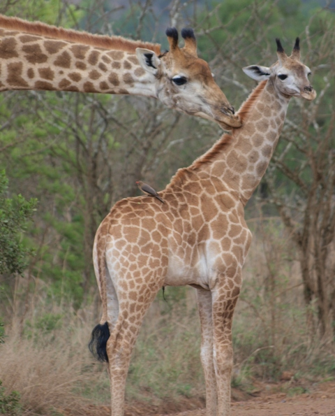 Baby giraffe on Ithala Game Reserve